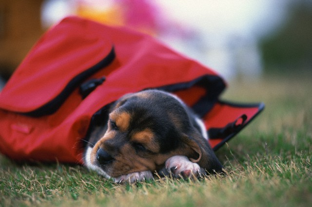 Beagle_Sleeping_in_Rucksack_on_Grass